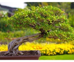 Un bonsái en el jardín