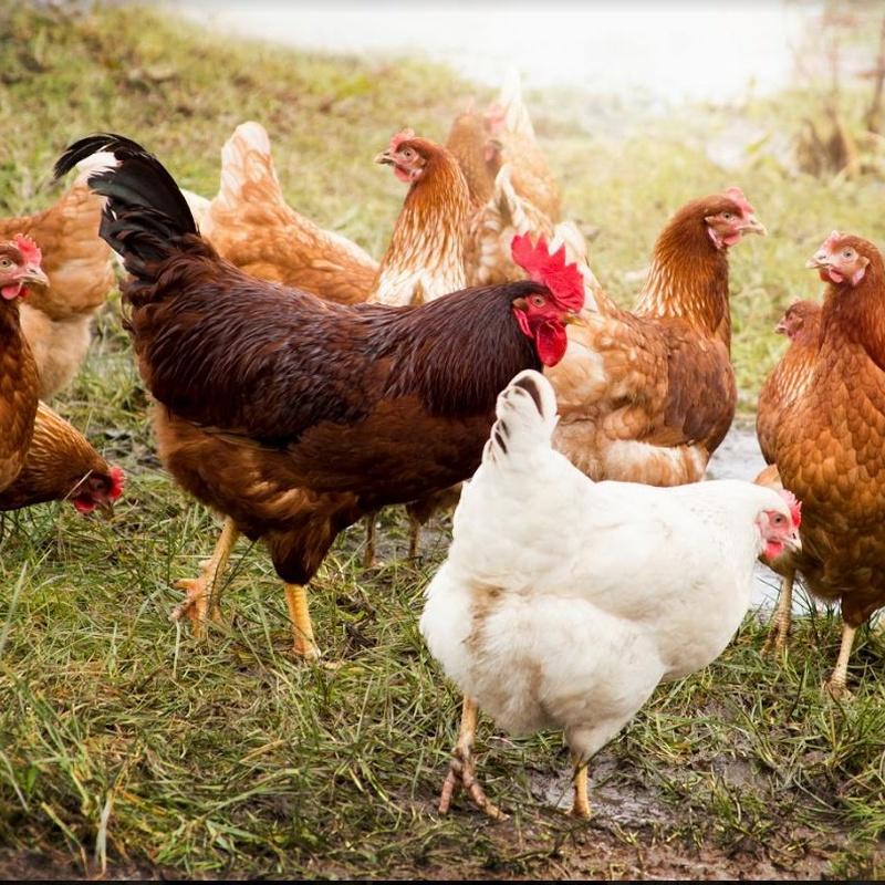 Pollos: Catálogo de Granja García