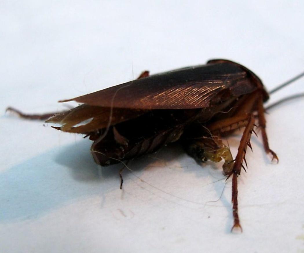 Eliminar cucarachas con remedios caseros