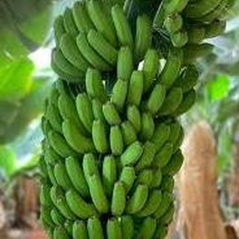 Plátano: Catálogo de FRUTAS PAULA