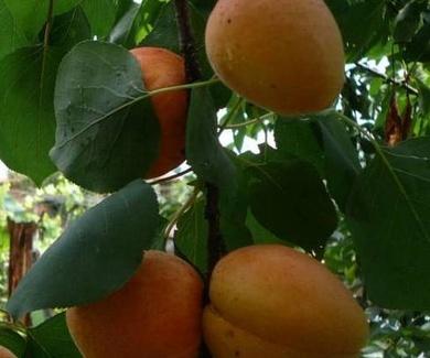 ALBARICOQUERO 'HATIF DE COLOMER'Ref. 4 Frutales