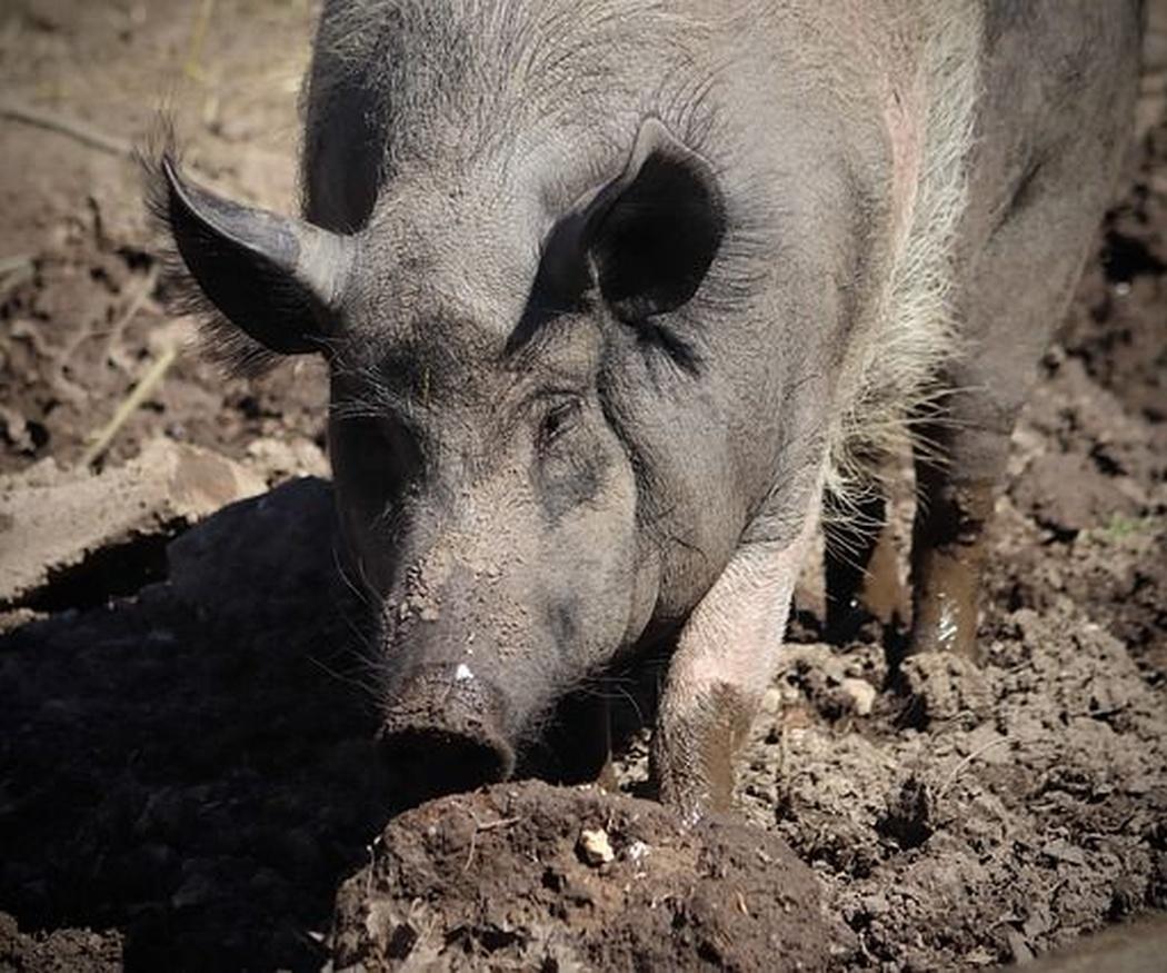 ¿Cuándo empezó a criarse el cerdo ibérico?