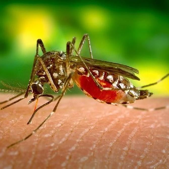 Mitos sobre los mosquitos