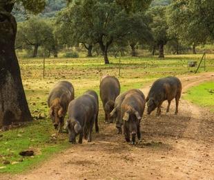 ¿Dónde y cómo se cría al cerdo ibérico?