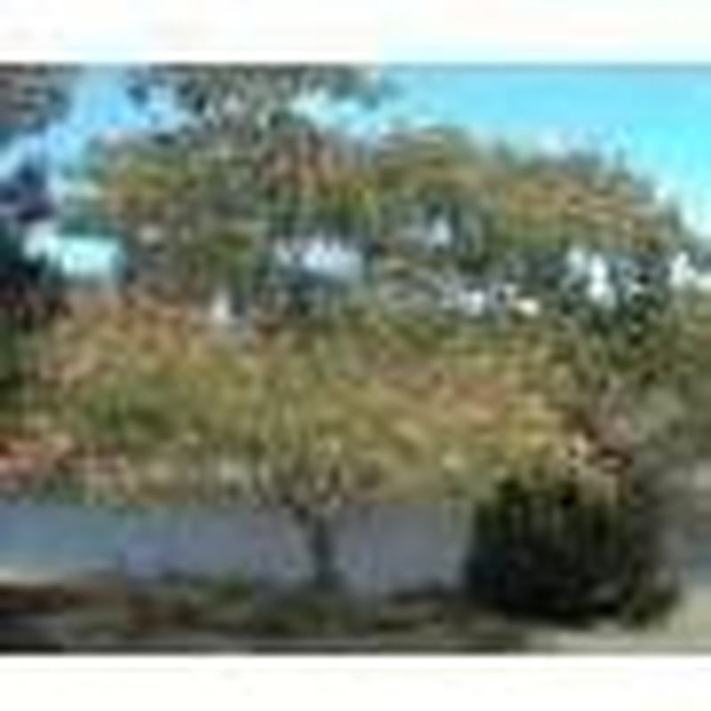 Acacia constantinopla umbrella
