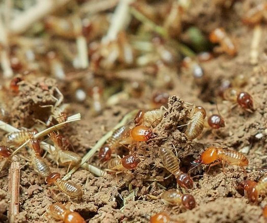 ¿Problemas de termitas? Te damos la solución