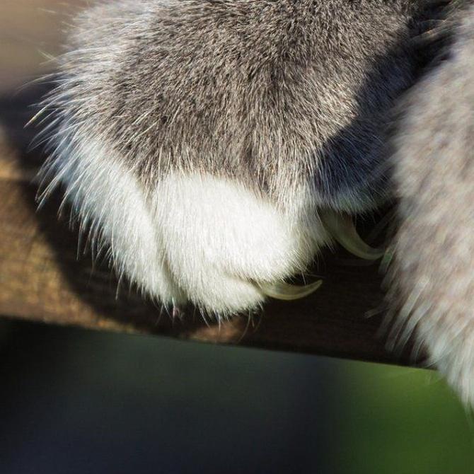 El cuidado de las uñas en los gatos