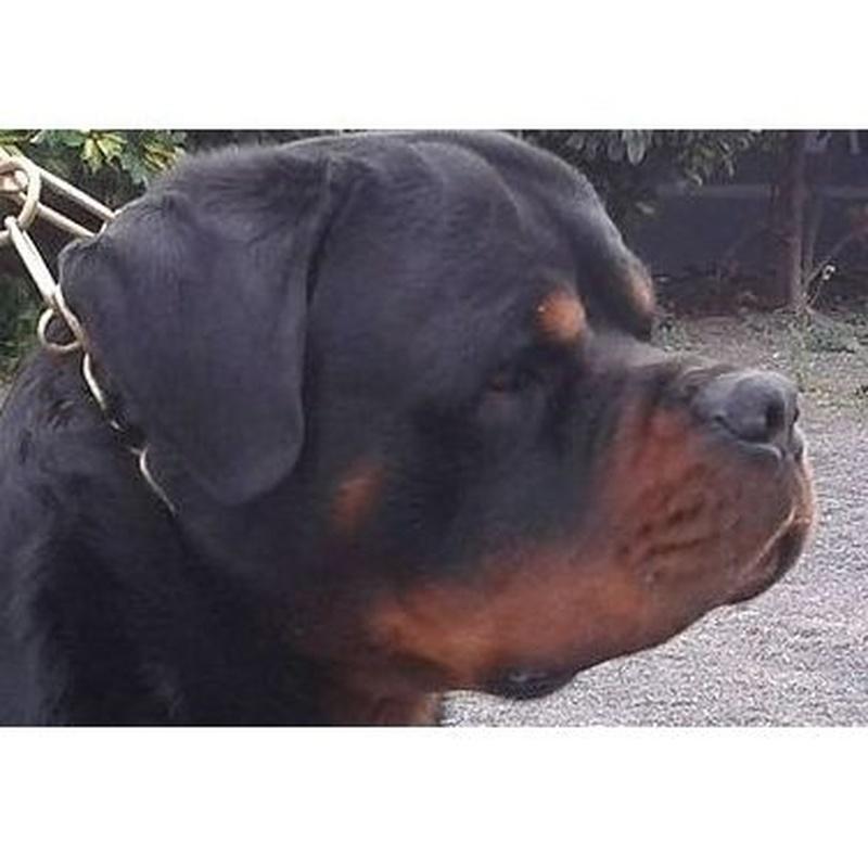 Ejemplares en venta: Servicios y accesorios de Residencia Canina y Adiestramiento Tarazona