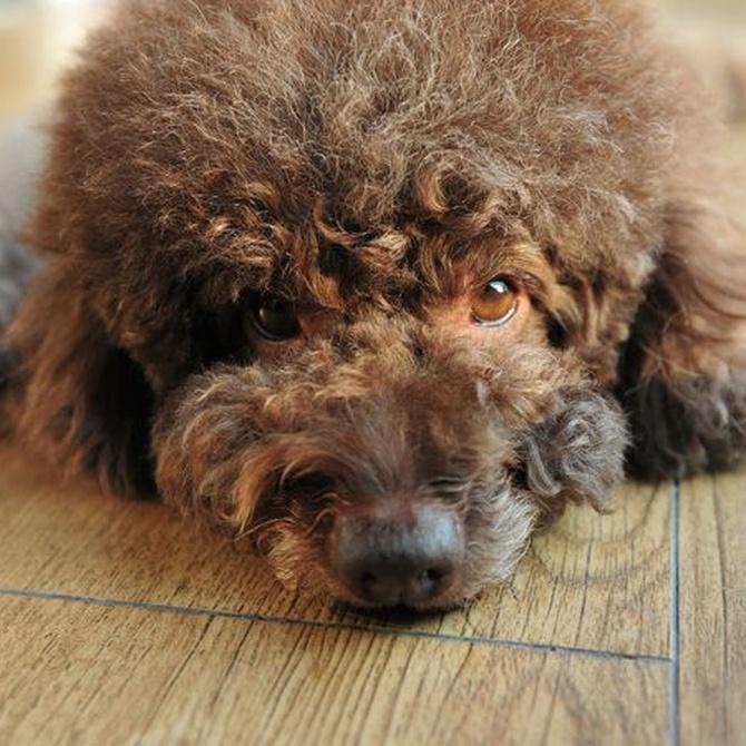 Consejos para terminar con la caída del pelo en perros