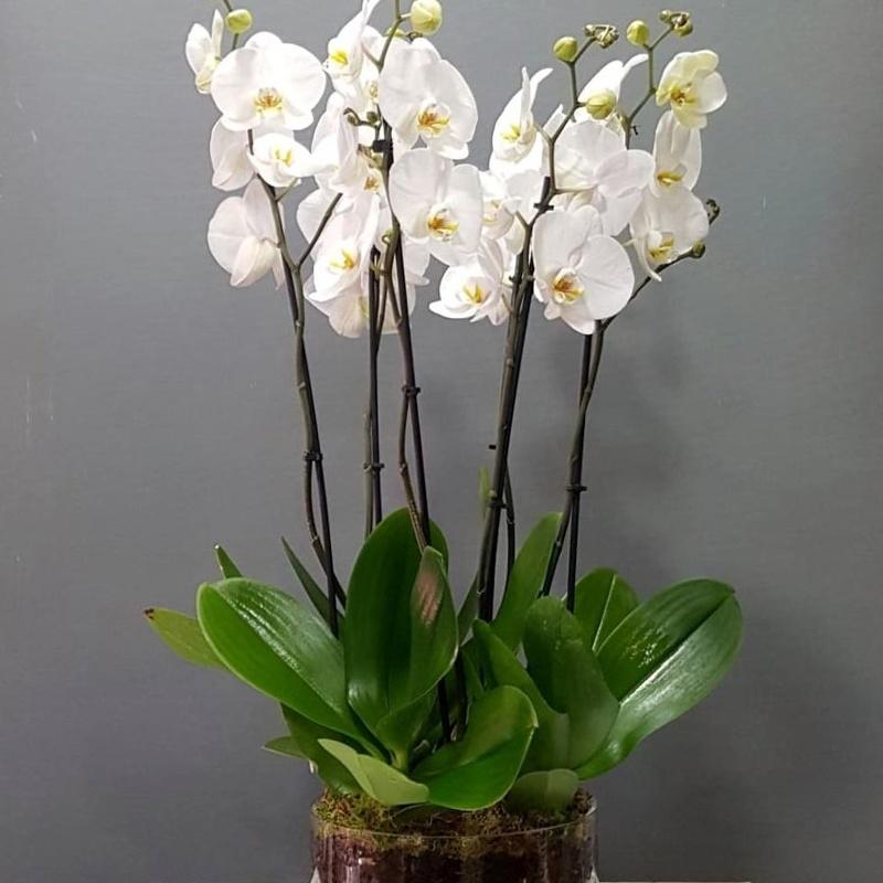 Orquídea Samani