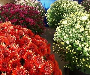 Crisantemos en Getxo
