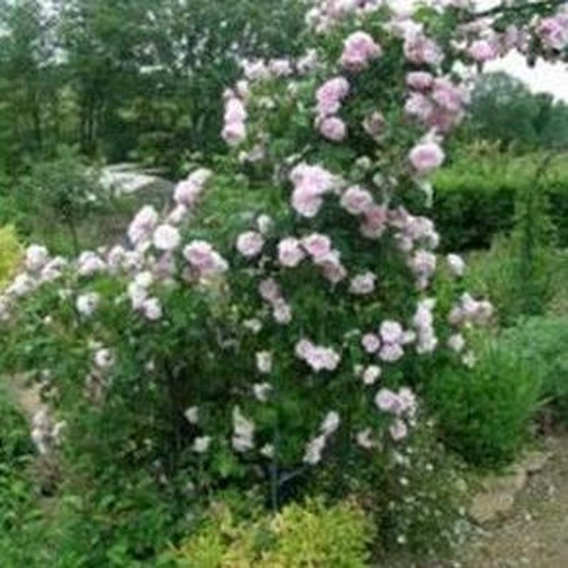 Rosa Centifolia: Productos de Danimayos Crea Tu Jardin