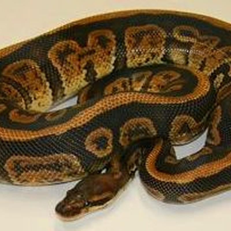 Python Regius : Catálogo de Reptil Parc