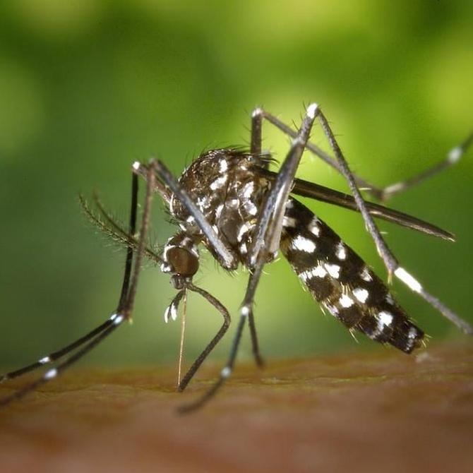 El mosquito tigre
