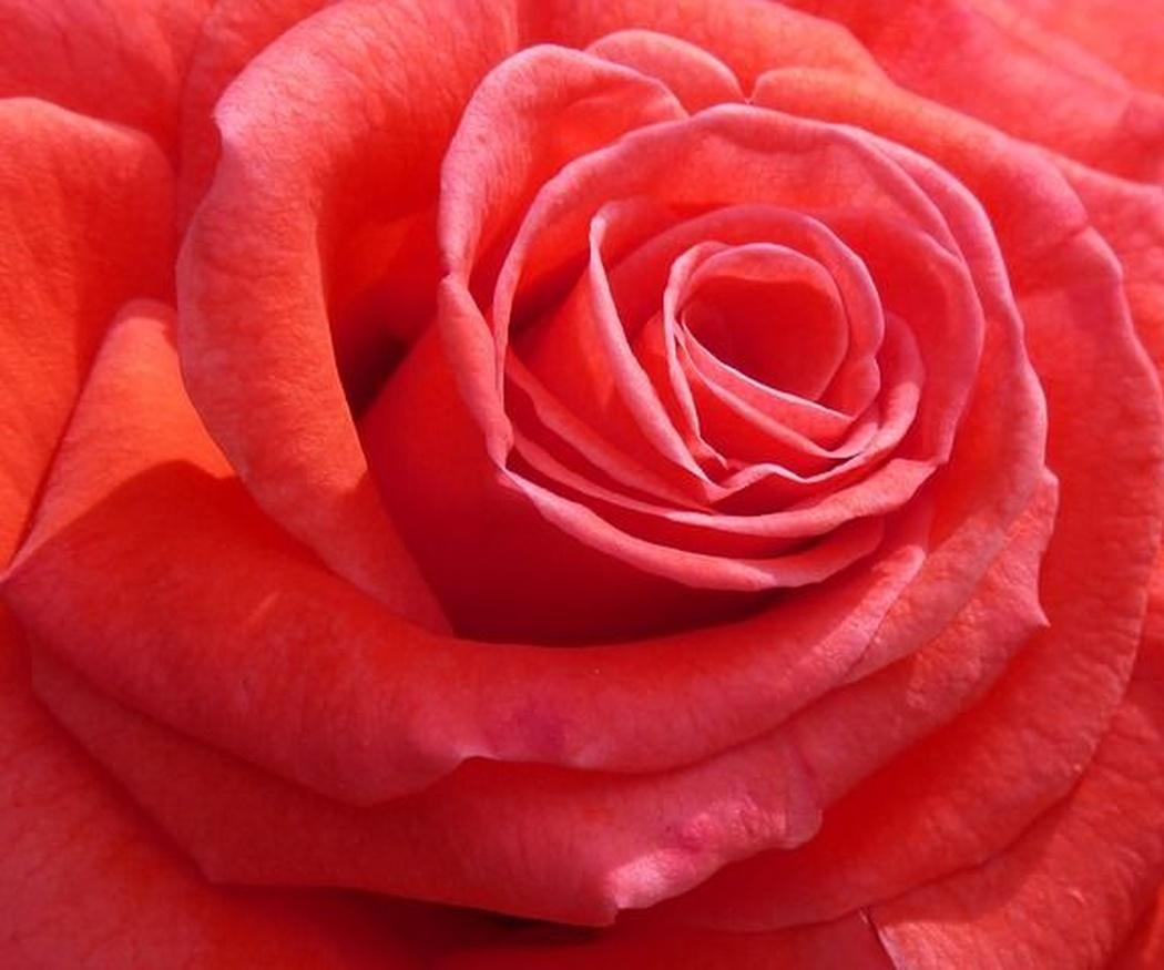 Crema de rosa mosqueta: renueva totalmente tu piel