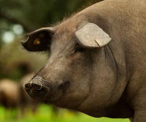Análisis de ácidos grasos en cerdo