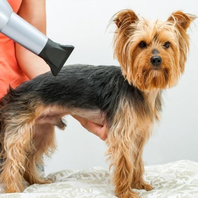 Cuándo cortar el pelo a un perro (I)