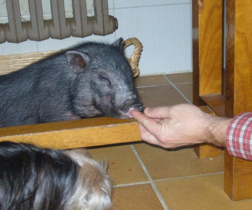 Alimentación y cuidados del cerdo vietnamita