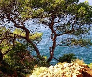 El pino gallego y el pino norte