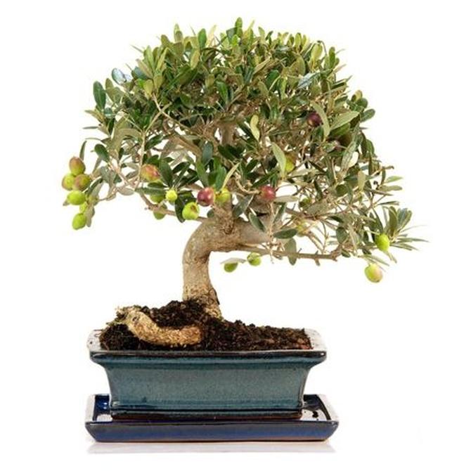 Cuidar un bonsái olivo