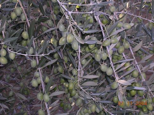 Venta de olivos, viveros de olivos