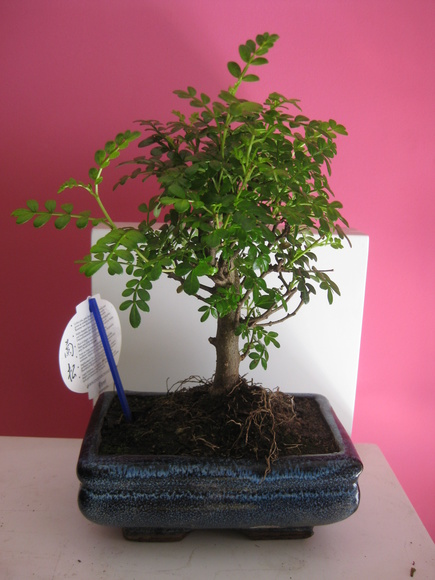 bonsai, envio de flores a domicilio Madrid centro