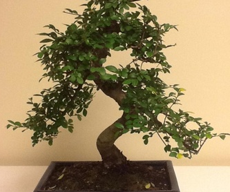 bonsai zelkova 6 años : Productos de Flores Madrid