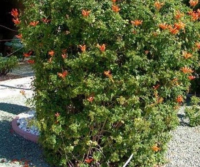 Bingnonia capensis
