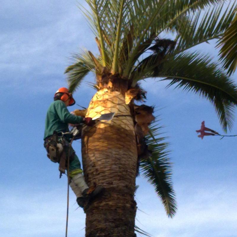 Cirugía de palmeras afectadas por el picudo rojo