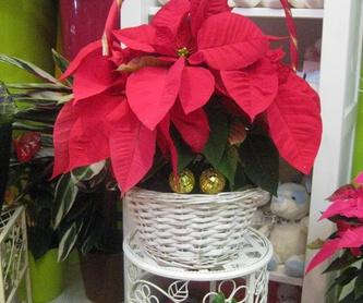 Flor de pascua: Catálogo de flores y plantas de Floristería Pétalos
