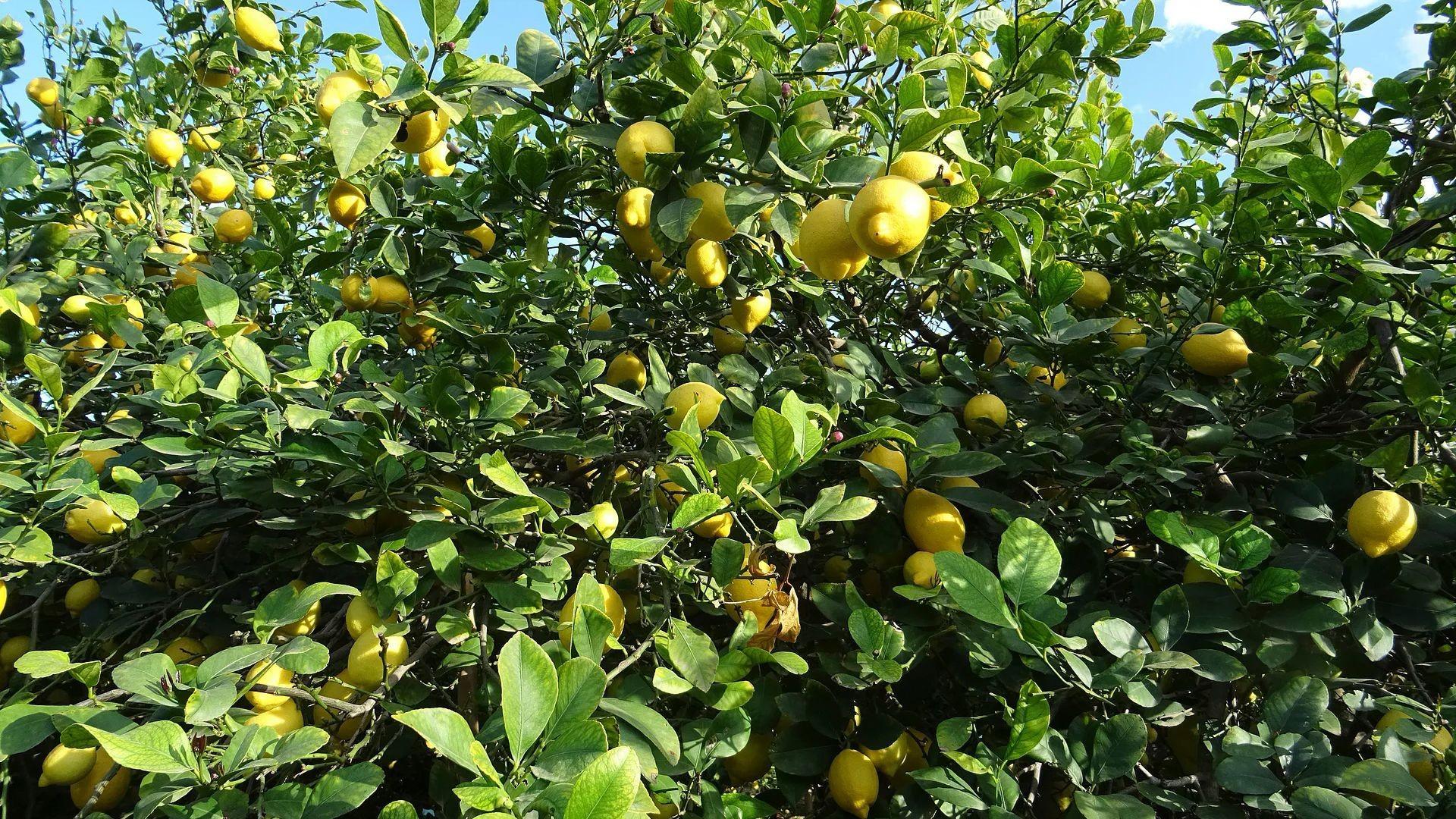 Producción y distribución de limones en Murcia