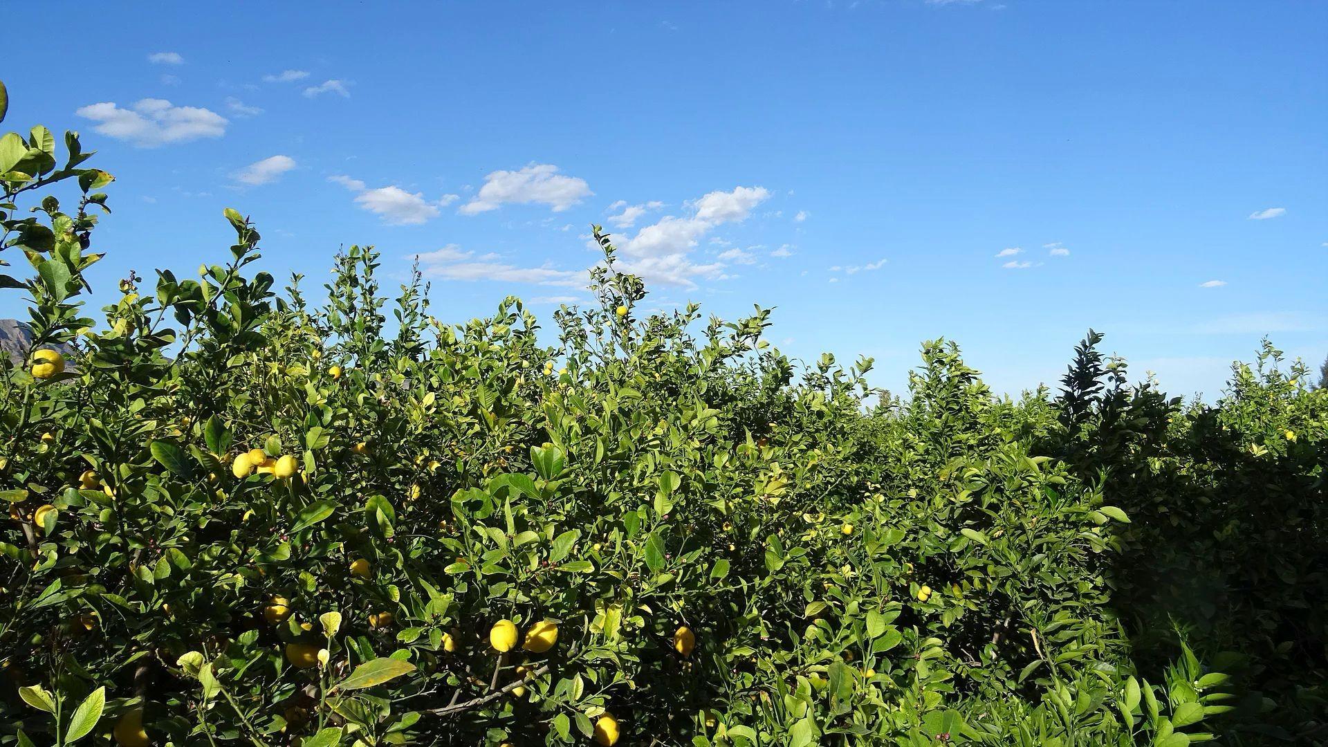 Producción de limones en Murcia