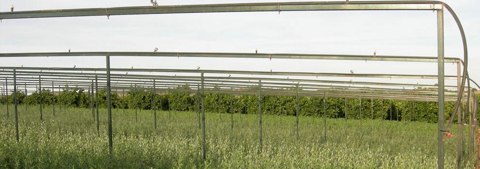 Venta de olivos en Córdoba - Viveros San Raimundo