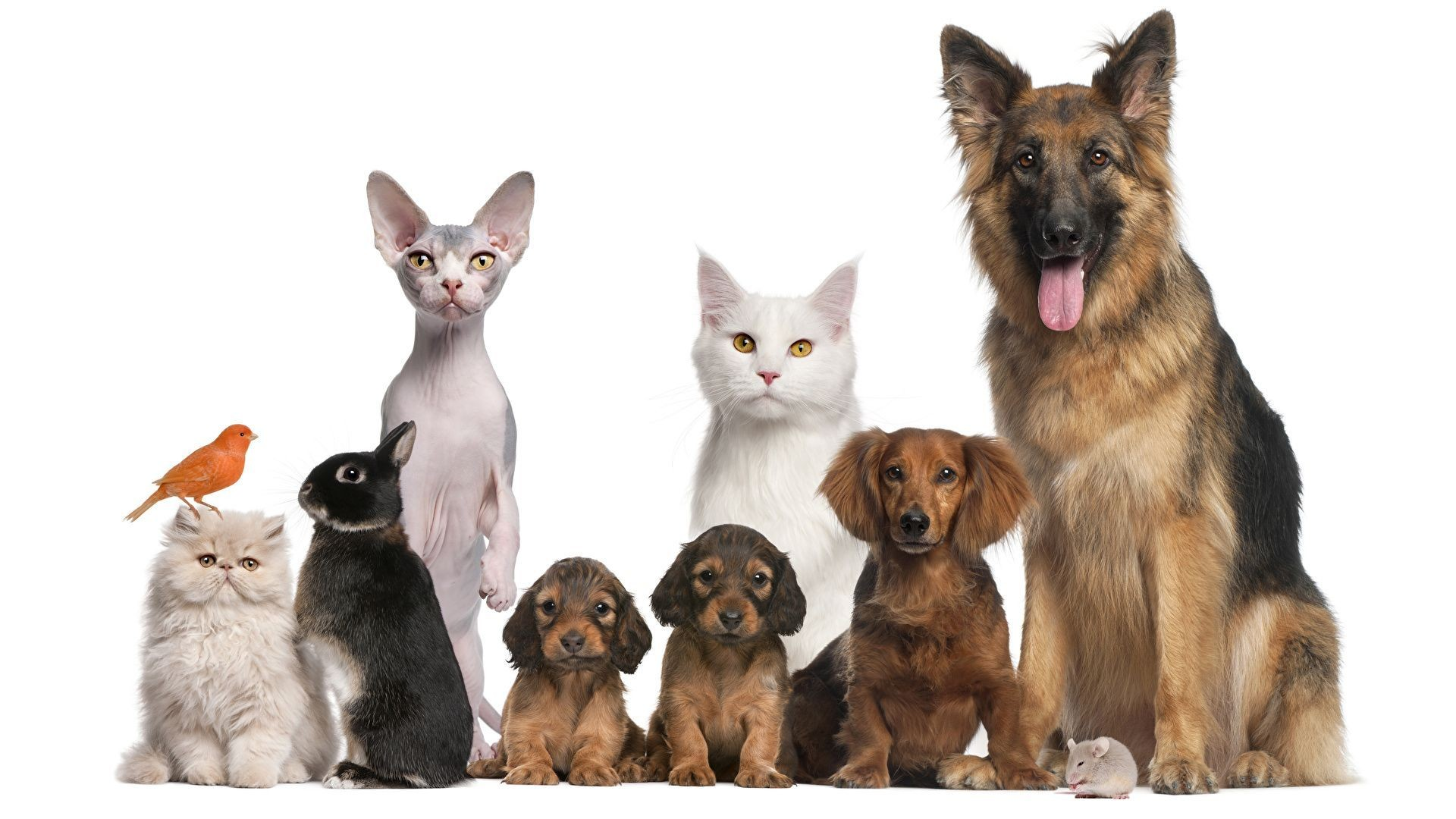 Dogs_Cats_Rabbits_White_background_Shepherd_Puppy_526372_1920x1080