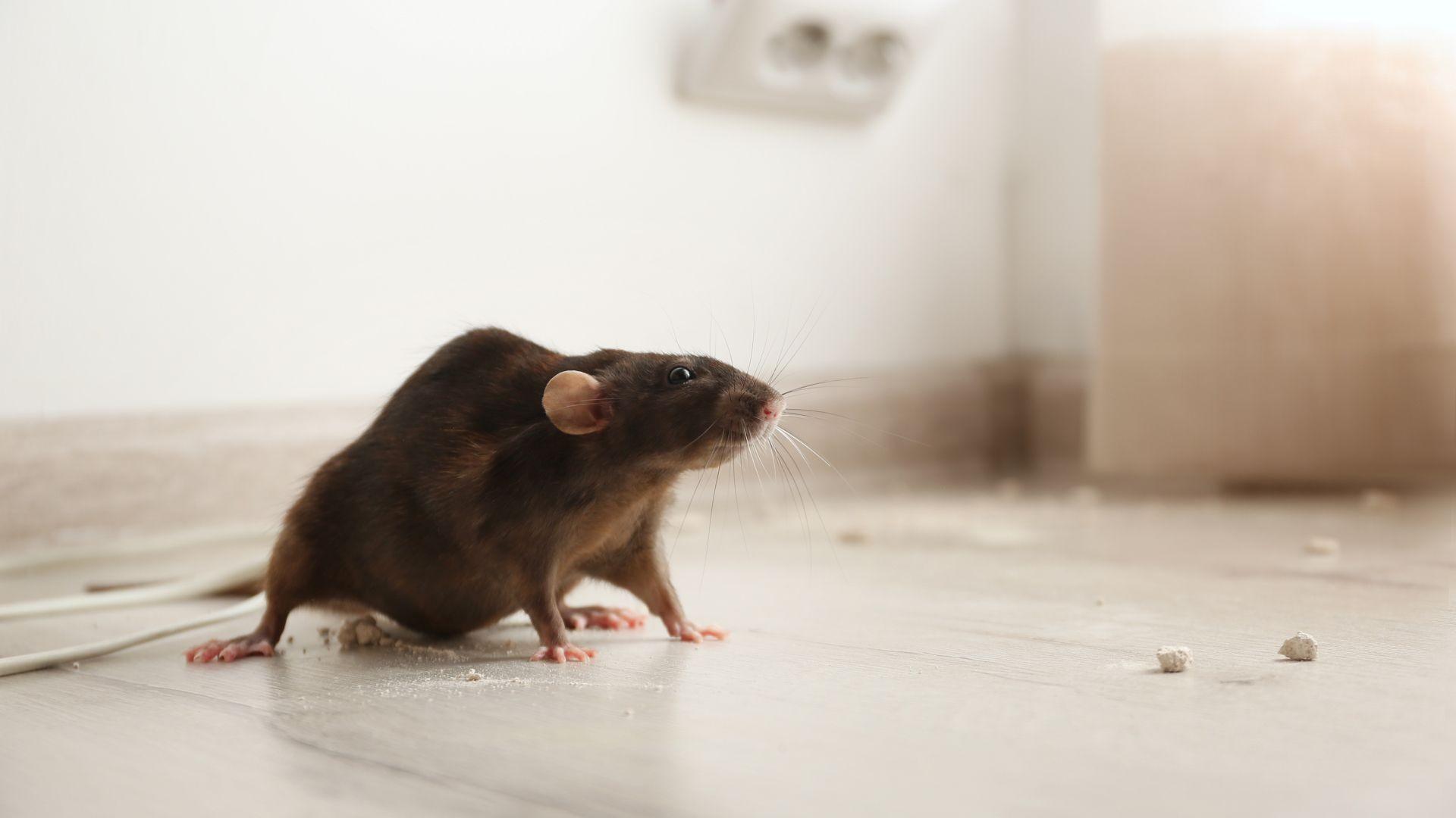 Control de plagas de roedores en  Zaragoza