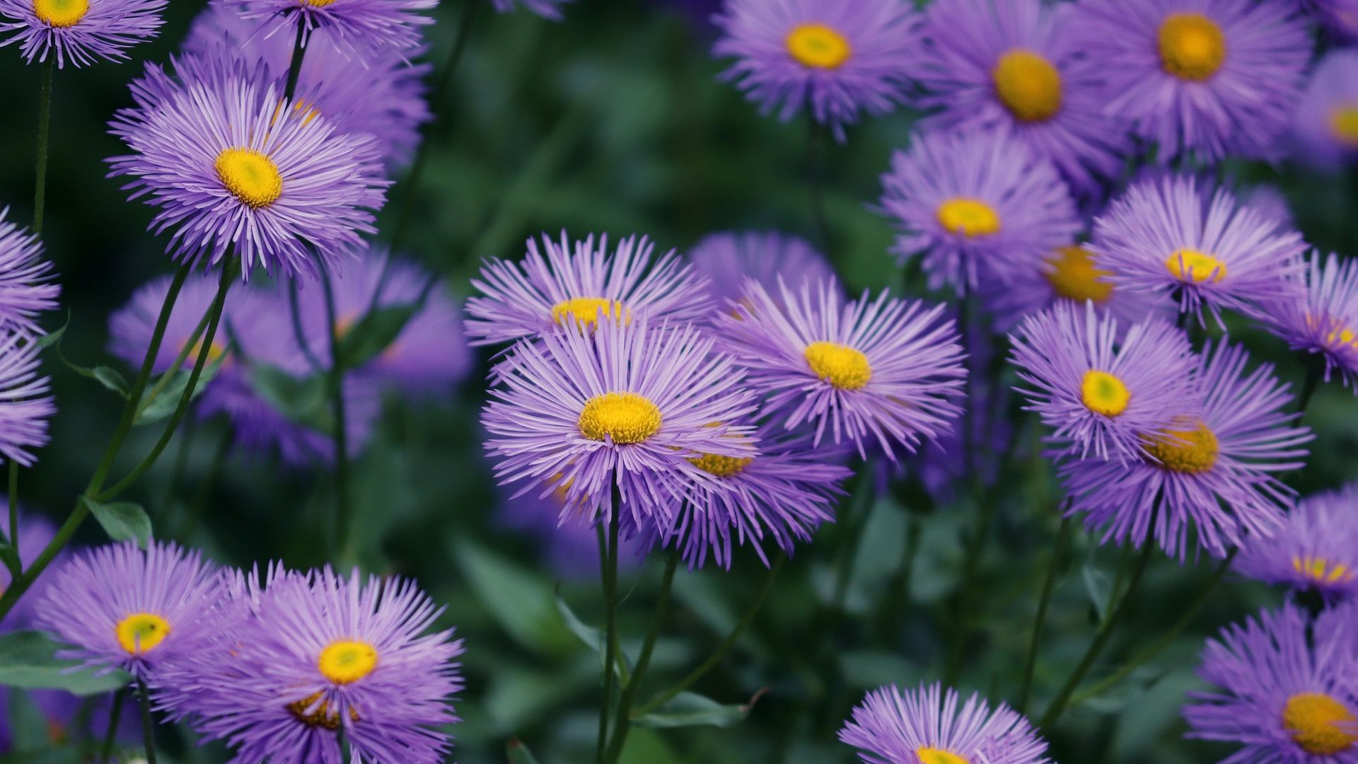 asters-4282887_1920