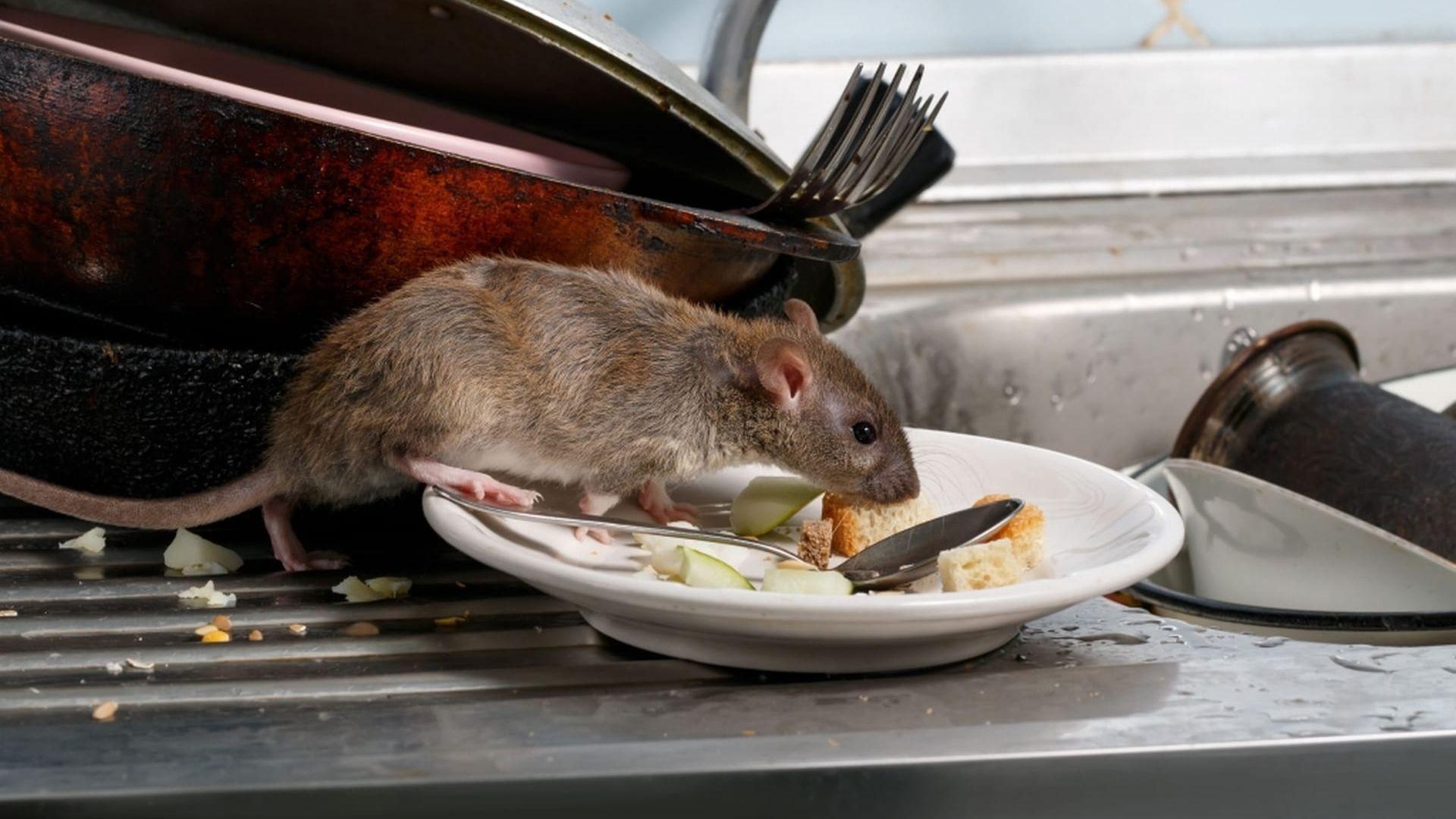 como acabar con ratas ratones en casa