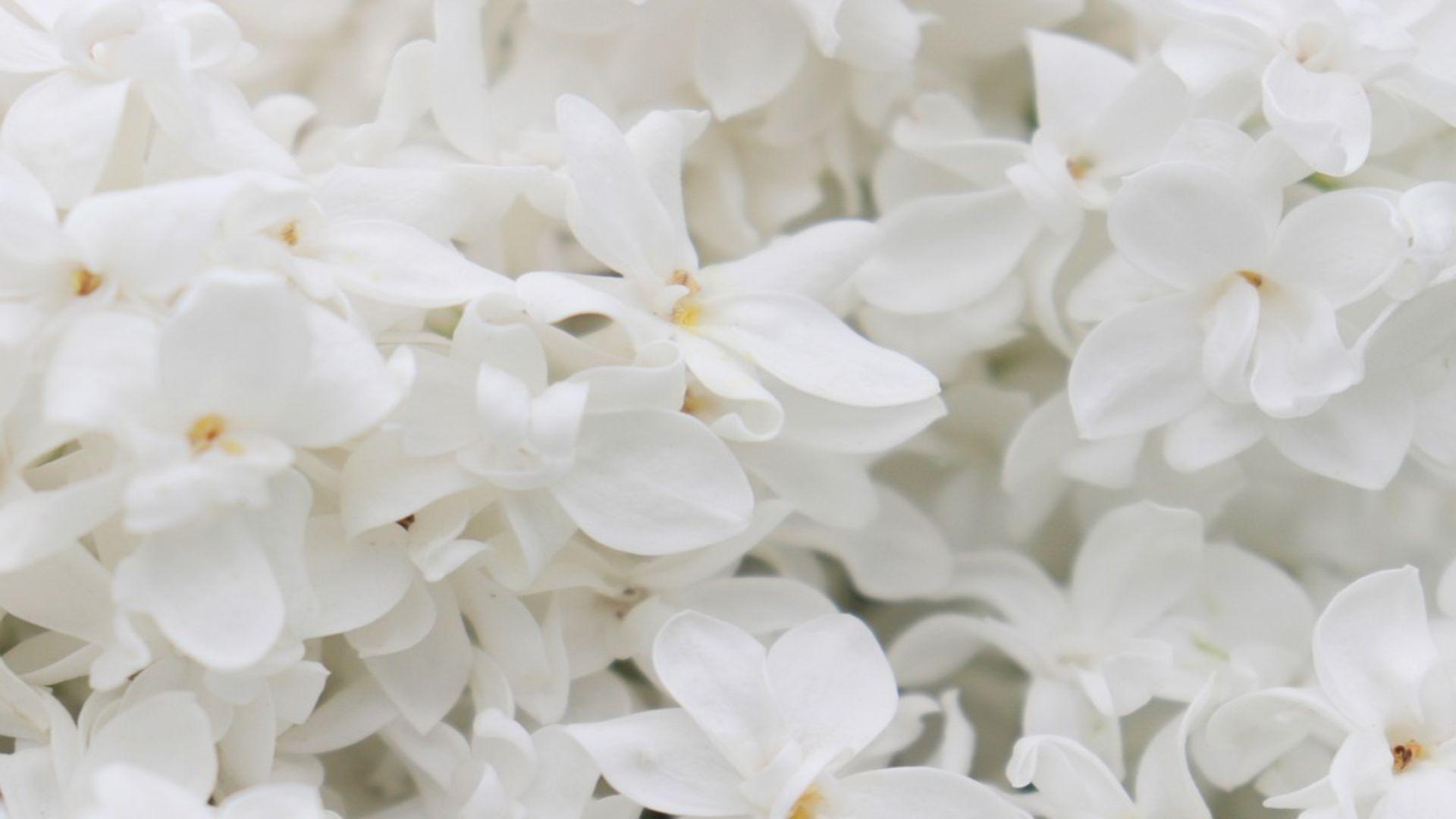 lilac-4250869_960_720 (1)