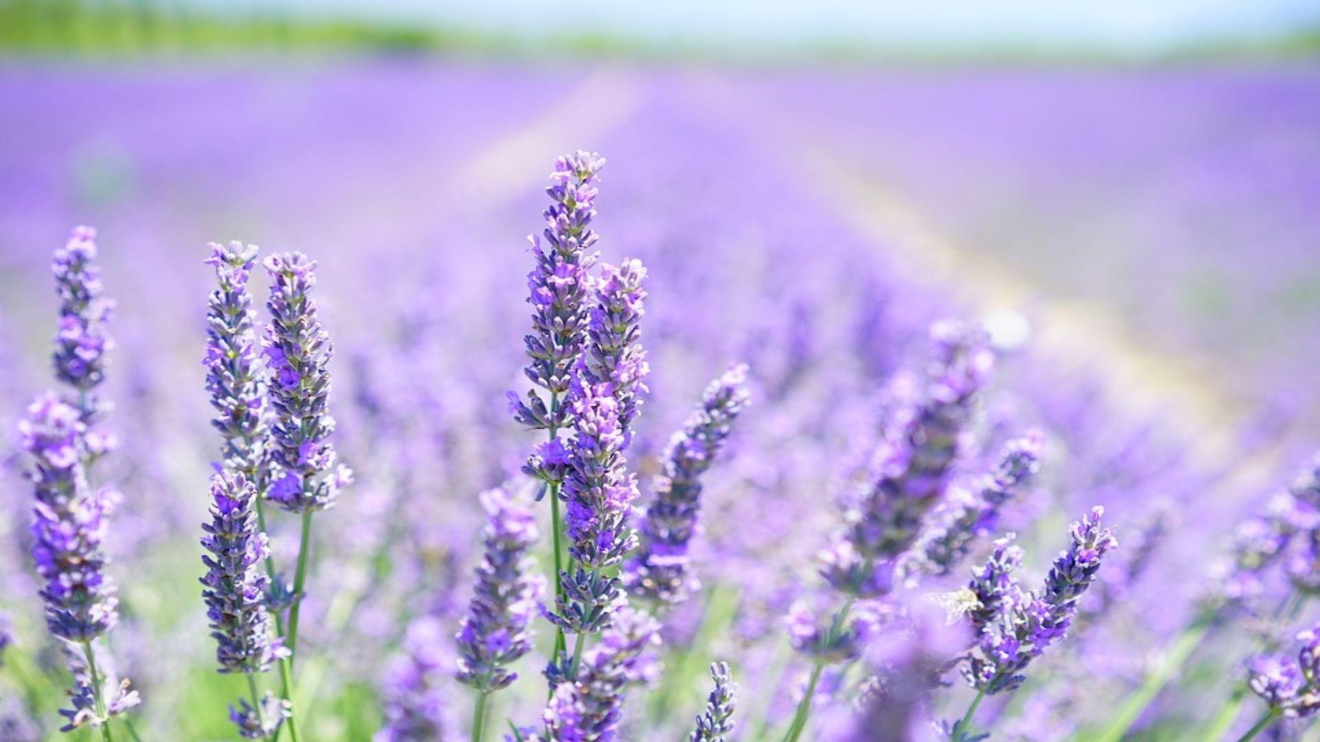 lavender-blossom-1595581_960_720 (1) (1)