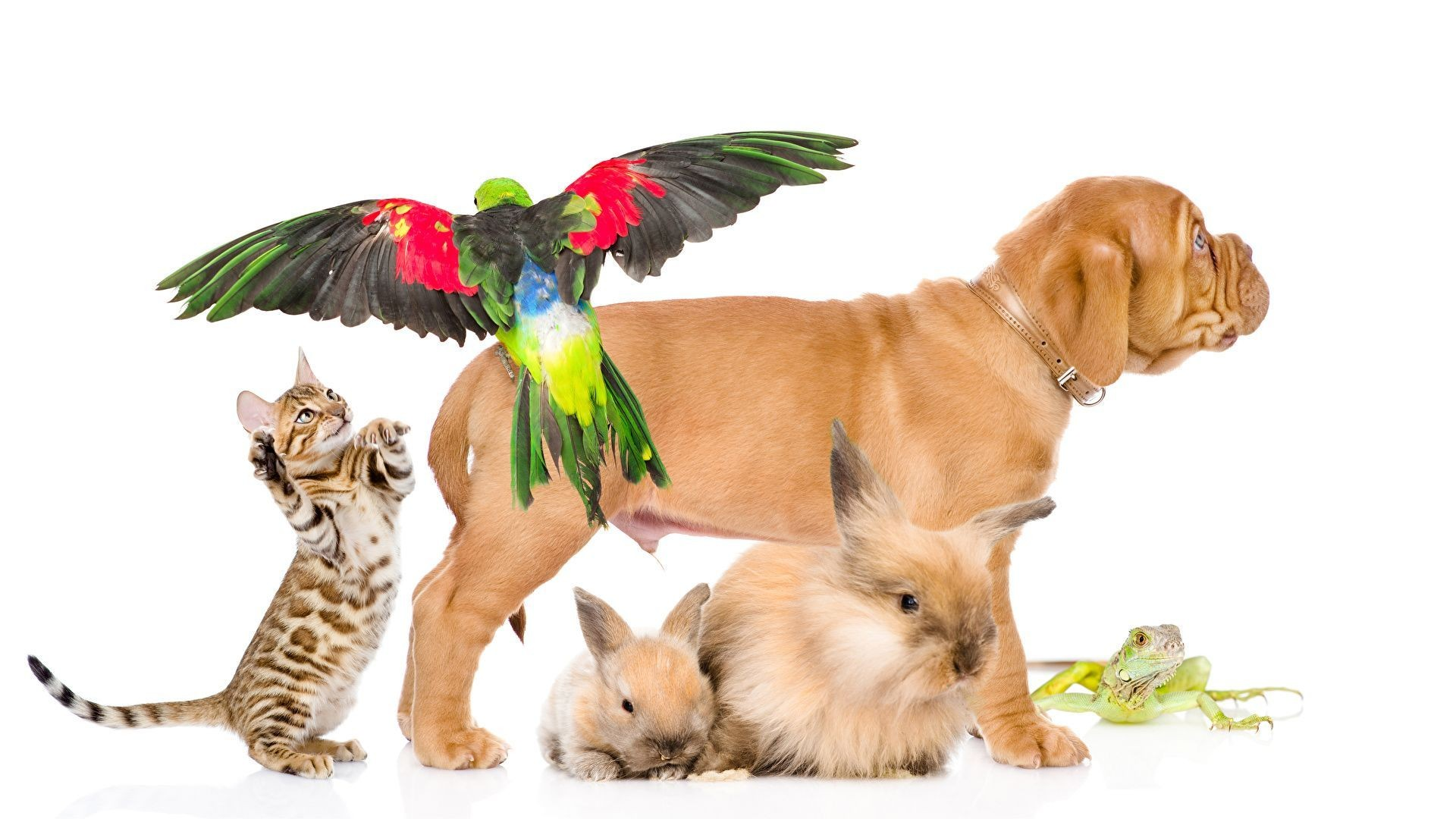 Dogs_Cats_Rabbits_Parrots_Frogs_White_background_549733_1920x1080