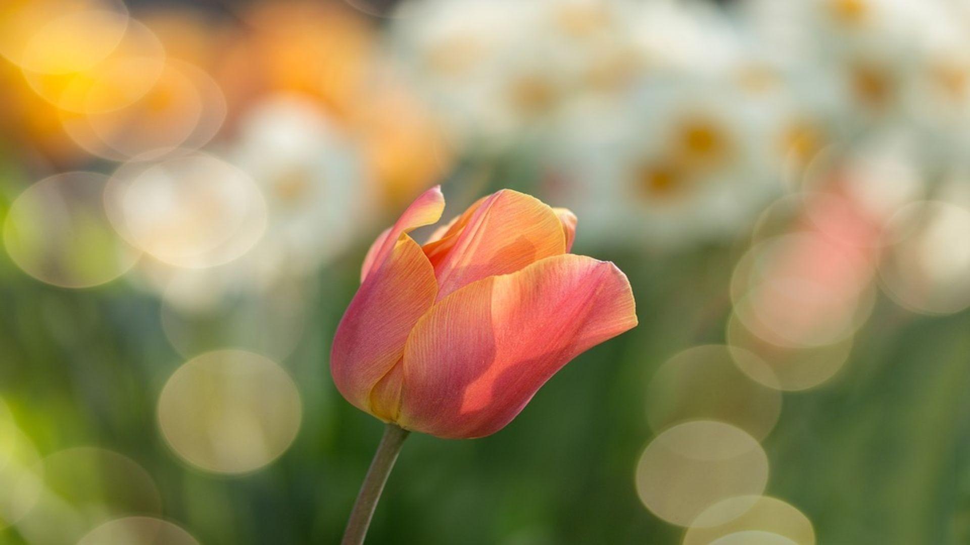 tulip-2189317_960_720 (1) (2)
