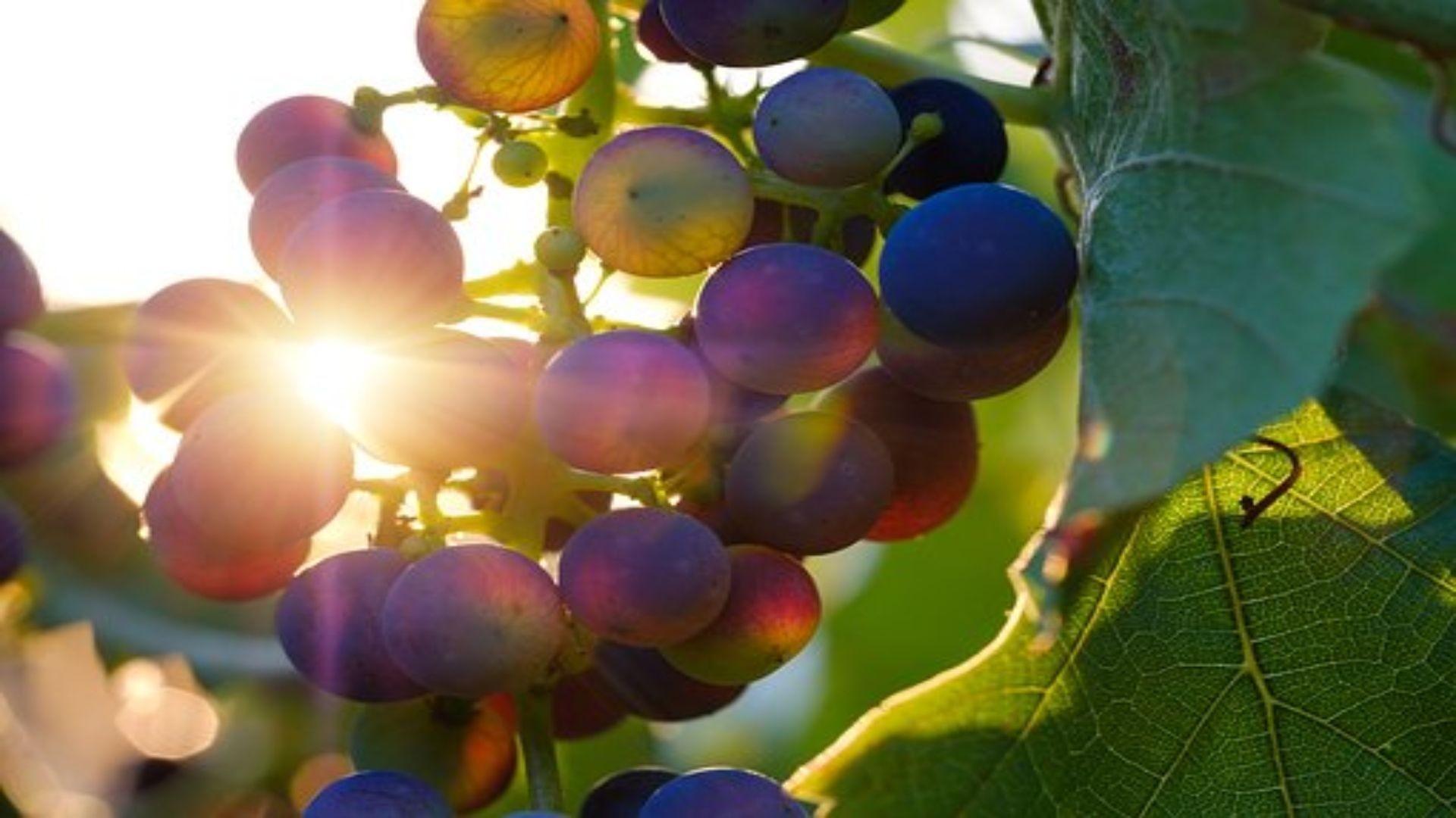 grapes-3550742__340 (1)