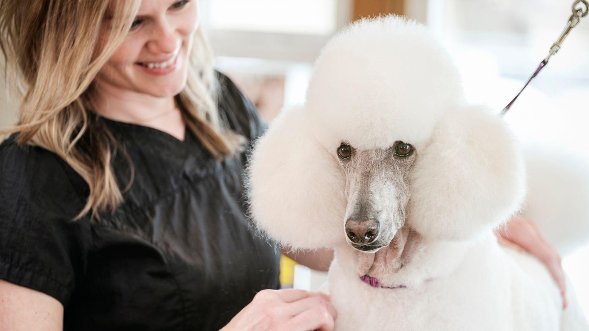 Peluquería canina especializada en corte de caniche en Valencia