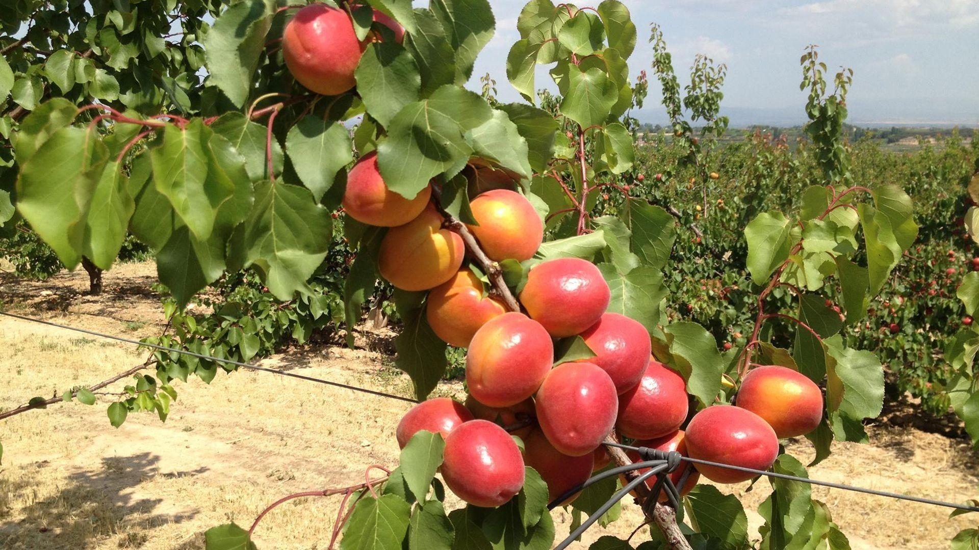 Distribución de frutas