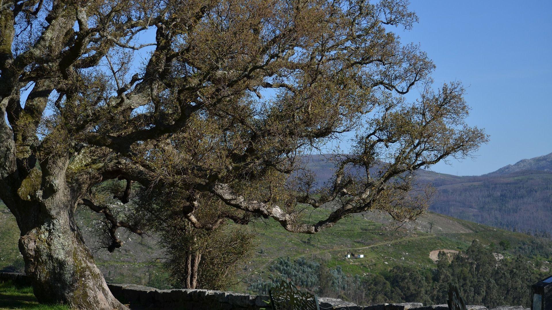 cork-oak-3409363_1920