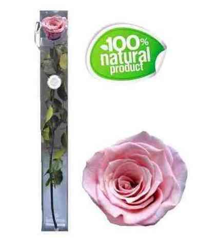 Rosa rosada eterna: Catálogo de Regalos de Floresdalia.com