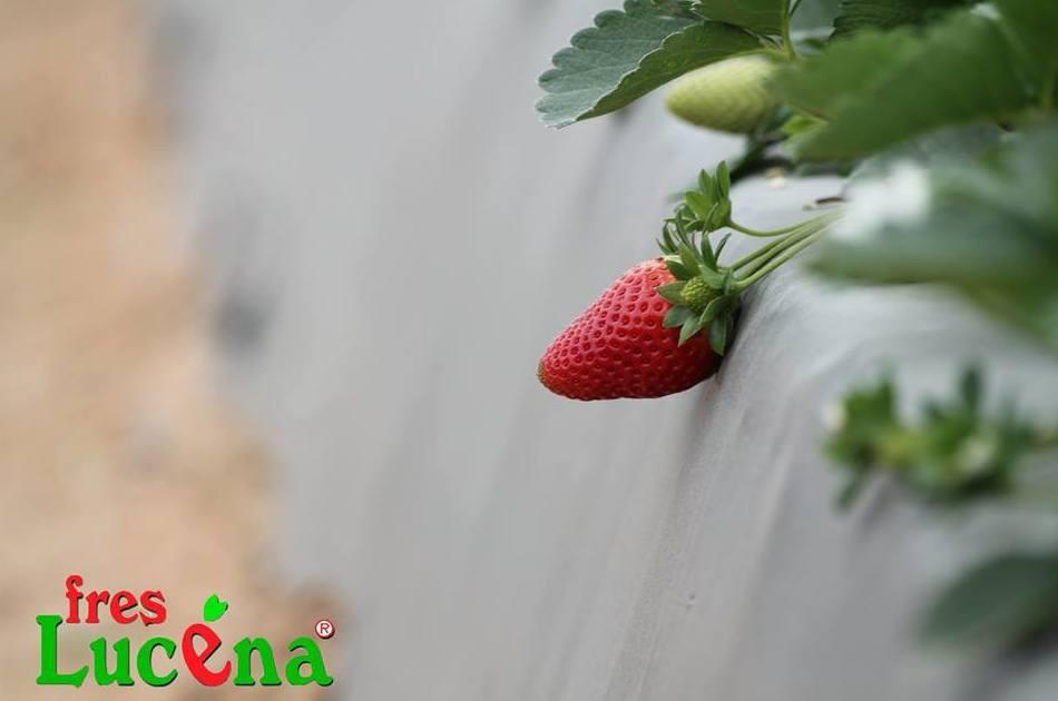 Comienzan a asomar las primeras fresas del año