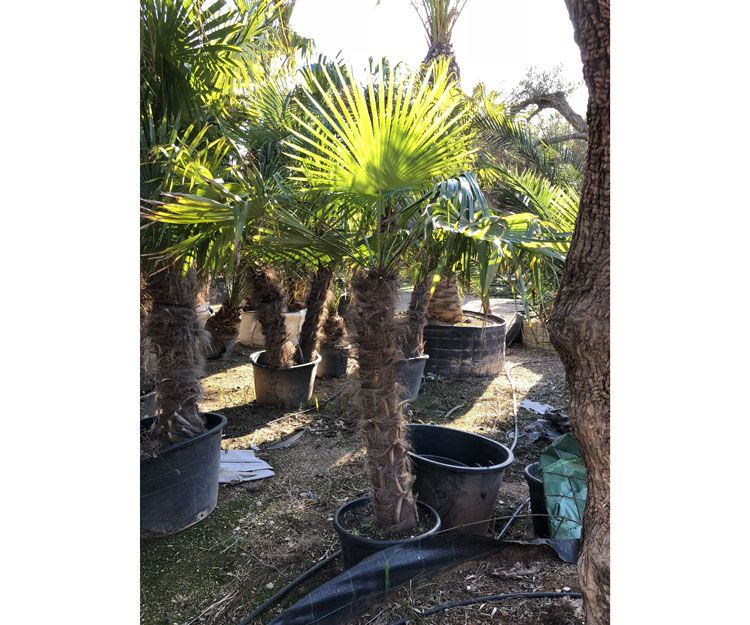 Foto 58 de Diseño de jardines en Palmañola, Mallorca | Garden Home Mallorca
