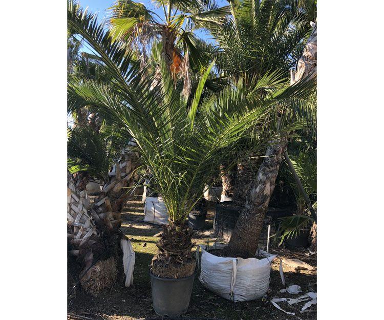 Árboles y palmeras en Mallorca