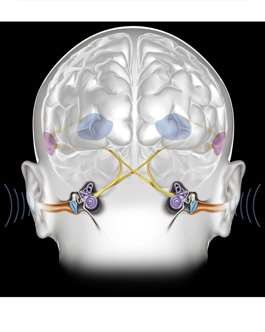 Regiones del cerebro responsables del procesamiento de la información auditiva.